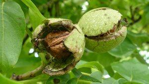 Walnuss in der Fruchthülle am Baum